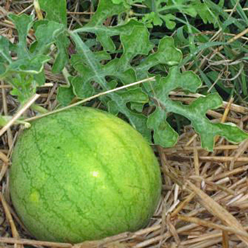 Golden Midget Watermelon - (Citrullus lanatus)