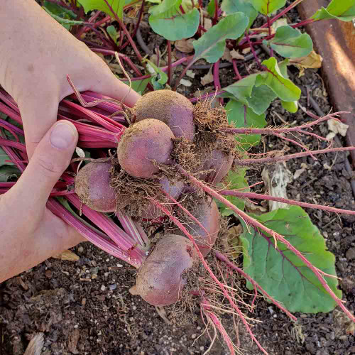 Fresh-picked Ruby Queen Beets - (Beta vulgaris)