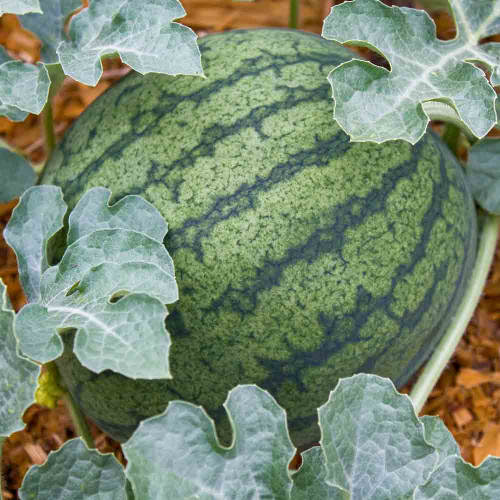 Mature Sugar Baby Watermelon - Terroir Seeds