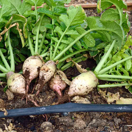Seven Top Turnips - (Brassica rapa)