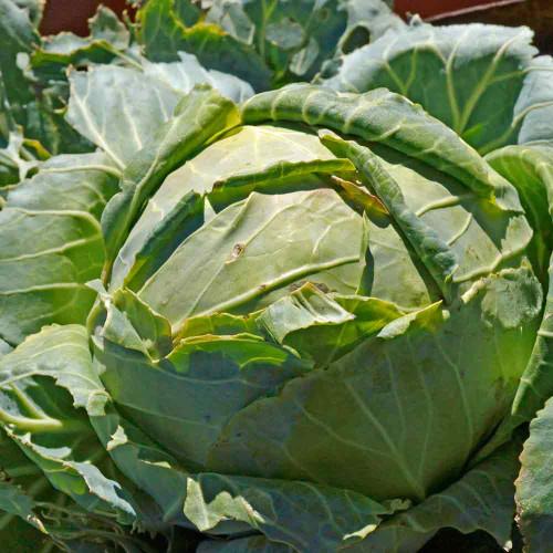 Danish Ballhead Cabbage - (Brassica oleracea)