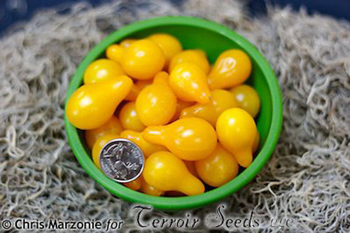 Yellow Pear Tomato - (Lycopersicon lycopersicum)