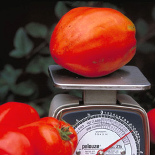 Amish Paste Tomato - (Lycopersicon lycopersicum)