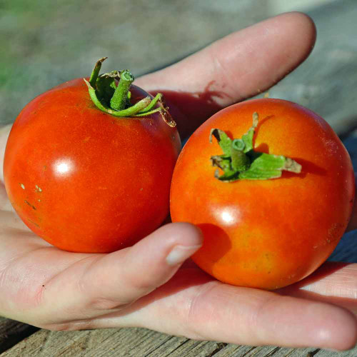Burbank Red Slicing Tomatoes - (Lycopersicon lycopersicum)