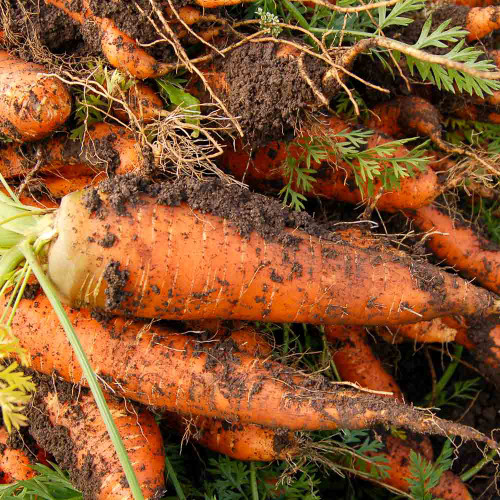 Freshly Picked Red Cored Chantenay Carrots - (Daucus carota v. sativus)