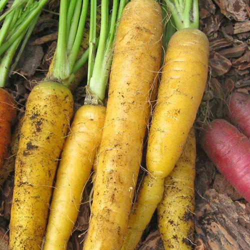 Yellowstone Carrot - (Daucus carota var. sativus)