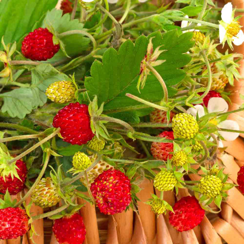 Four Season Alpine Strawberries and flowers 'Fragola Quattro Stagioni' - (Fragaria vesca)
