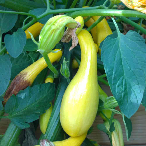 Maturing Early Summer Crookneck Squash fruit - (Cucurbita pepo)