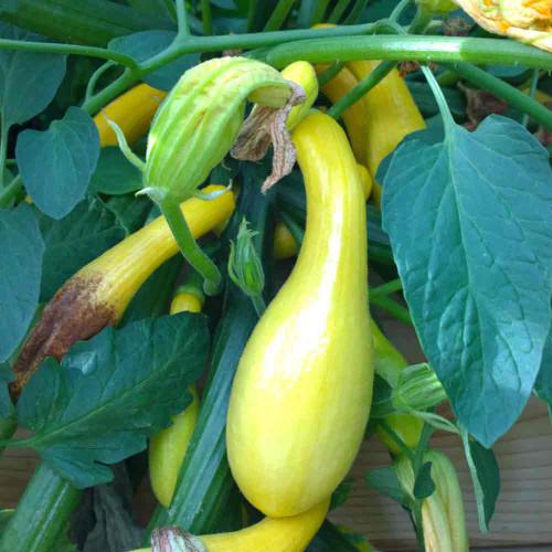 Maturing Early Summer Crookneck Squash fruit - (Cucurbita pepo)