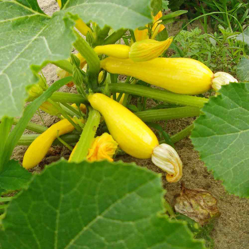 Golden Zucchini Squash and Flowers- (Cucurbita pepo)
