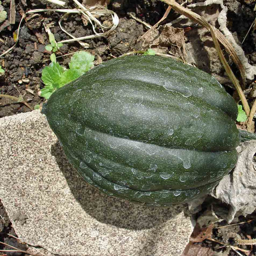 Table Queen Bush Acorn Squash - (Cucurbita pepo)