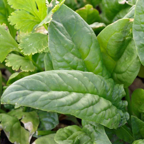 Bloomsdale Spinach - (Spinacia oleracea)
