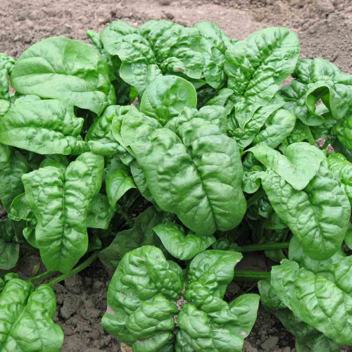 Giant Nobel Spinach - (Spinacia oleracea)