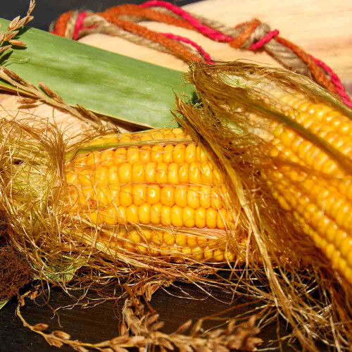 Golden Bantam Sweet Corn ears - (Zea mays)