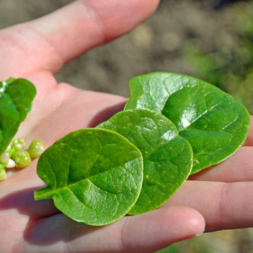 Green  Malabar Spinach Leaves- (Basella alba)