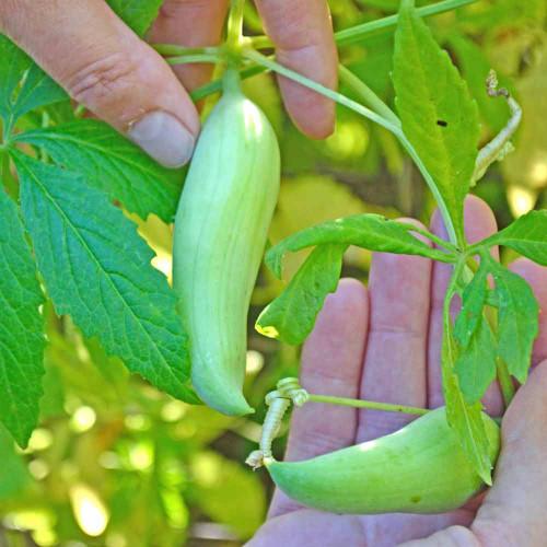 Achocha/Caihua Pods - (Cyclanthera pedata)