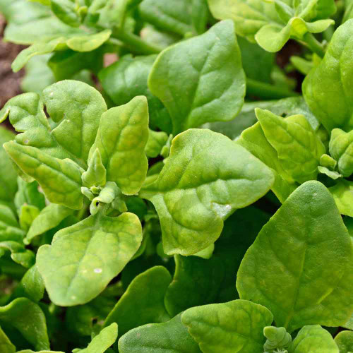 New Zealand Spinach Leaves - (Tetragonia expansa)