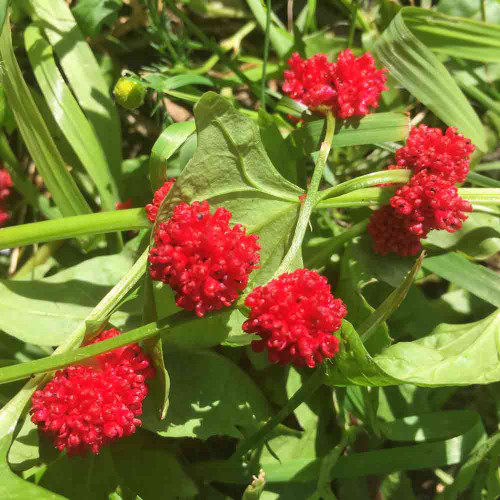 Strawberry Spinach leaves and fruit - (Chenopodium capitatum)