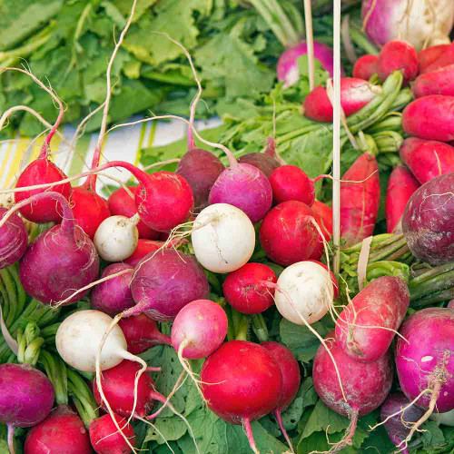 Easter Egg Blend Radish Mix - (Raphanus sativus)