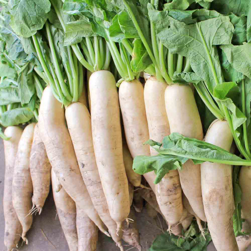 Japanese Minowase (Daikon) Heirloom Radishes - (Raphanus sativus)