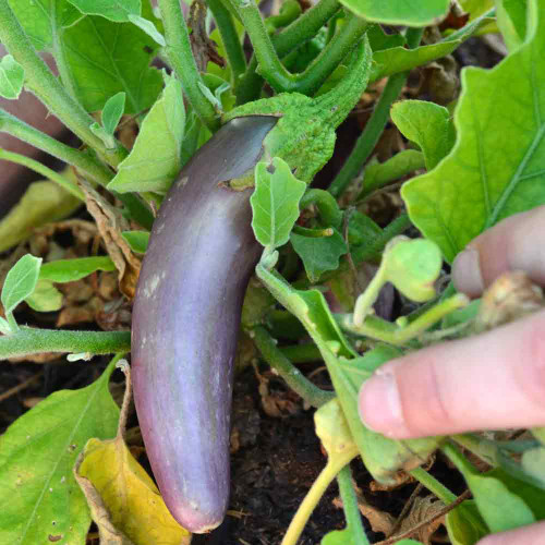 Long Purple Italian Eggplant fruit - (Solanum melongena var. esculentum)