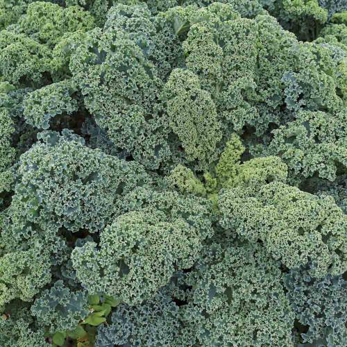 Vates Blue Curled Kale leaves - (Brassica oleracea)