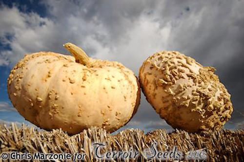 Galeux d'Eysines Pumpkin - (Cucurbita maxima)