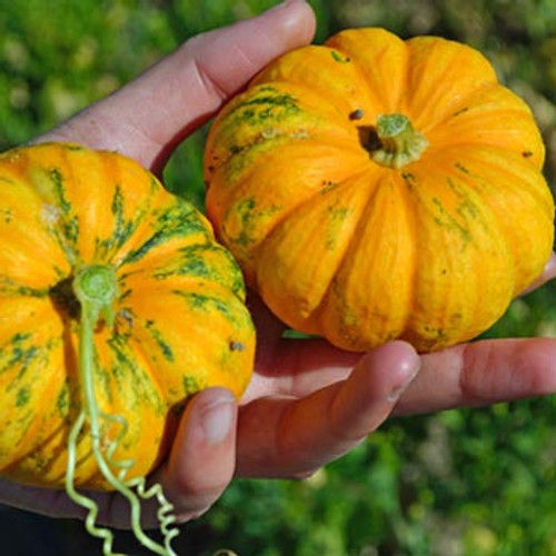 Jack Be Little Pumpkin - (Cucurbita pepo)