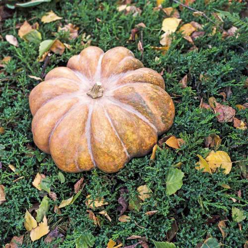 Musquée de Provence/Fairy Tale Pumpkin - (Cucurbita moschata)
