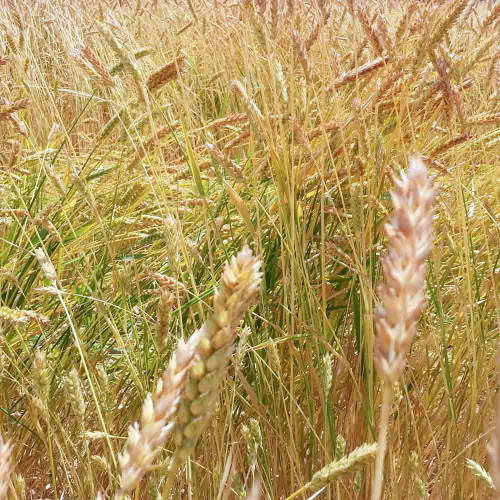Stalks of White Sonora Wheat - (Triticum aestivum)