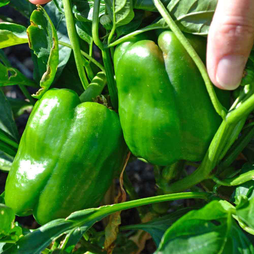 Green Jupiter Sweet Peppers - (Capsicum annuum)