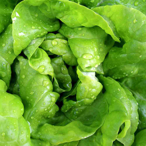 Saint Anne's Slow-Bolting Heirloom Lettuce - (Lactuca sativa)