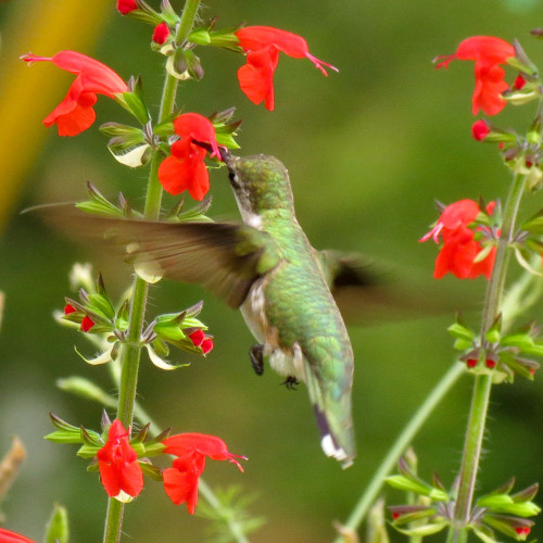 Hummingbird on Scarlet Sage flowers - Courtesy of Kristin Williams