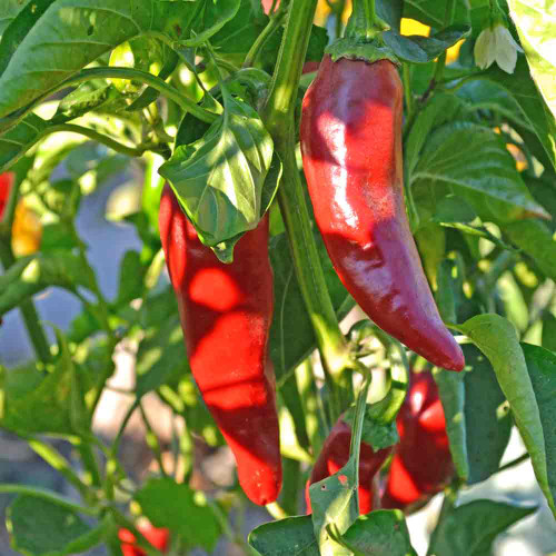Ripe Espelette/ Basque Pepper Seeds on the vine - (Capsicum annuum)