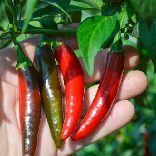 Mature Serrano Tampiqueno Peppers - (Capsicum annuum)