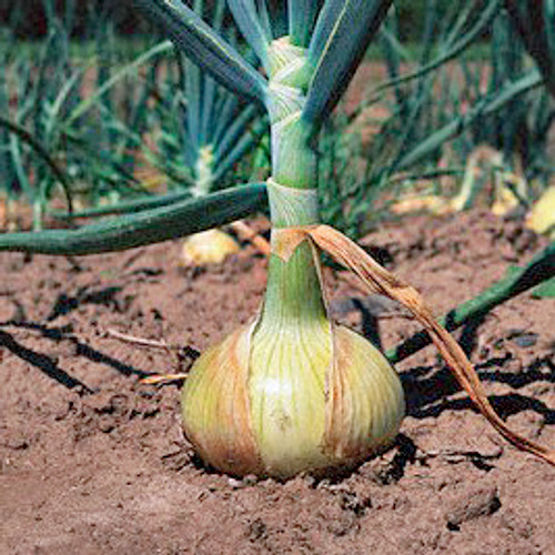 Walla Walla Onion - (Allium cepa)