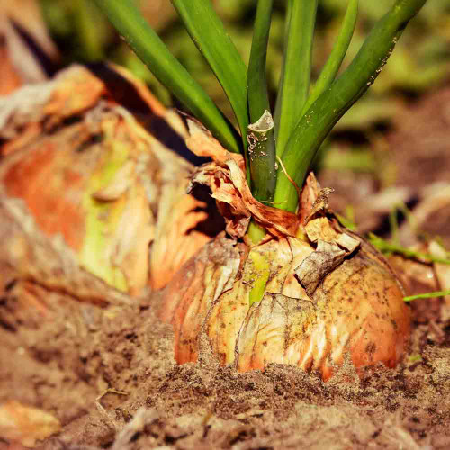 Yellow Sweet Spanish Utah Onions ready for harvest - (Allium cepa)