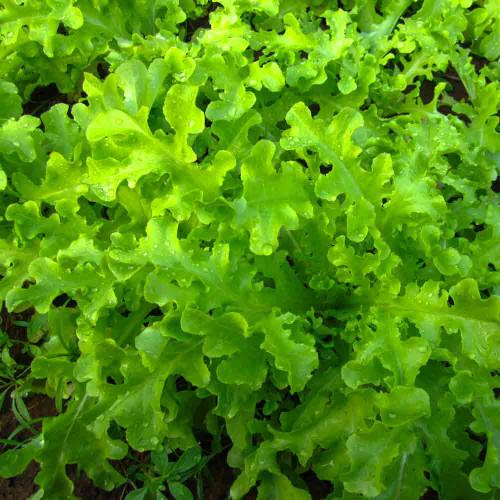 Green Salad Bowl Lettuce - (Lactuca sativa)
