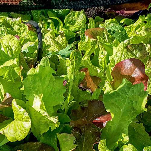 Terroir Seeds Romaine Lettuce Blend - (Lactuca sativa)