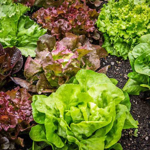 Gourmet Lettuce Blend - (Lactuca sativa)