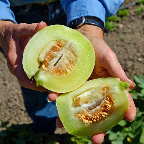 Sliced Oliver's Pearl Cluster Melon - (Cucumis melo)