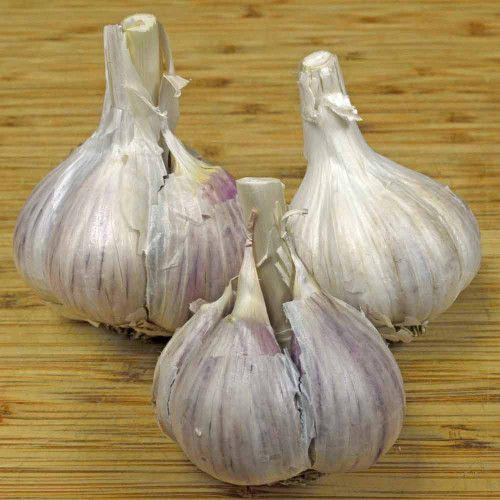 Organic Music Heirloom Garlic bulbs - (Allium sativum)