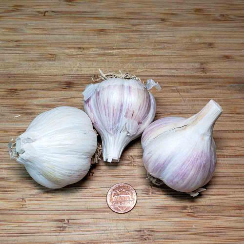 Organic German White Garlic - (Allium sativum)