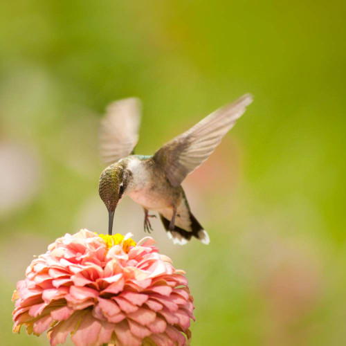 Hummingbird Garden Heirloom Seed Collection