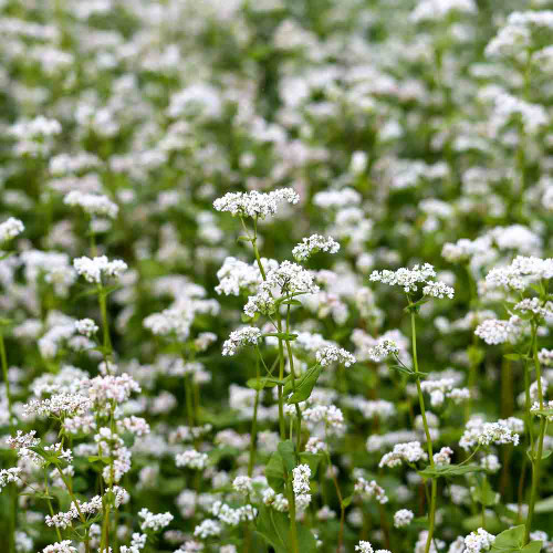 Buckwheat flowers - (Fagopyrum esculentum)
