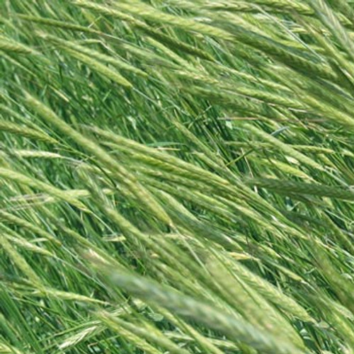 Cereal Rye - (Secale cereale)