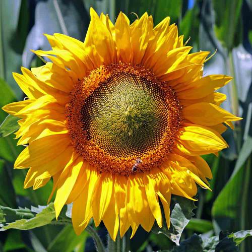 Skyscraper Sunflower  with bee - (Helianthus annuus)