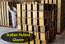 2 lb. Package Honey Bees with Italian Hybrid Queens for sale