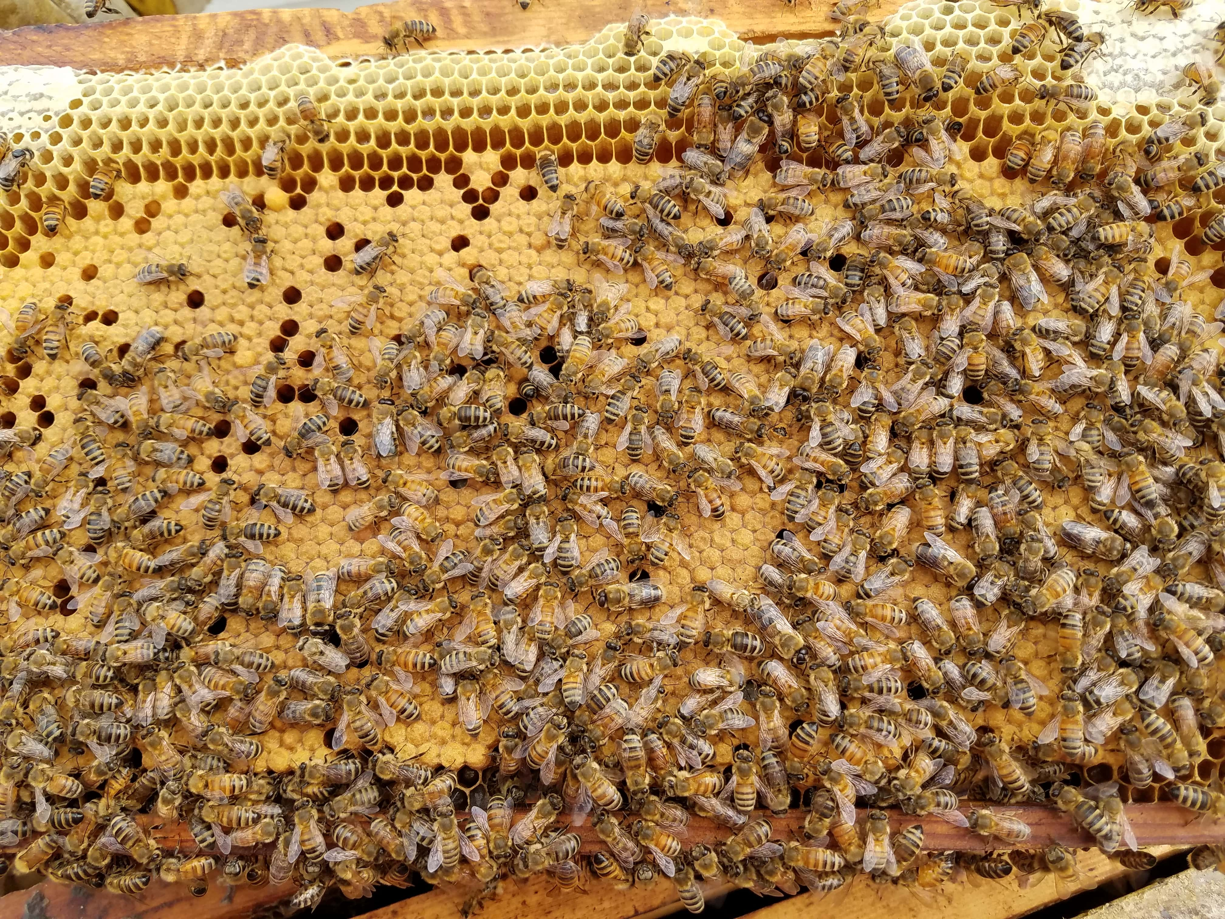 Free Shipping Italian Carniolan Saskatraz queen honey bees for sale to anywhere in the USA including AL AK AR AZ CA CO CT DE FL GA ID IL IN IA KS KY LA ME MD MA MI MN MS MO MT NE NV NH NJ NM NY NC ND OH OK OR PA RI SC SD TN TX UT VT VA WA WV WI WY