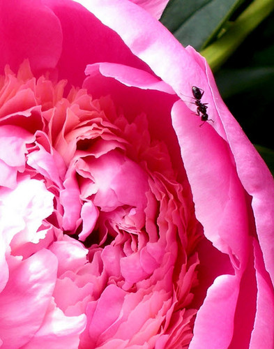 Natural Ant Control